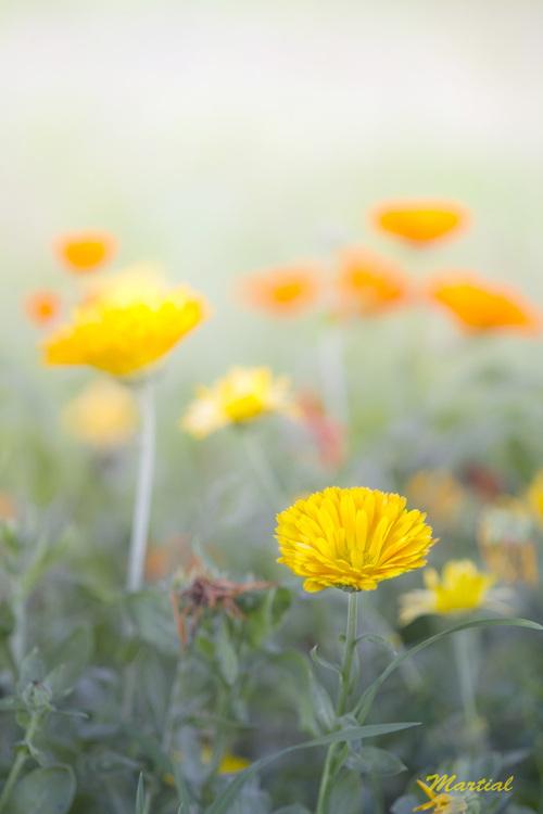 souci, fleur, officinal,  Calendula officinalis