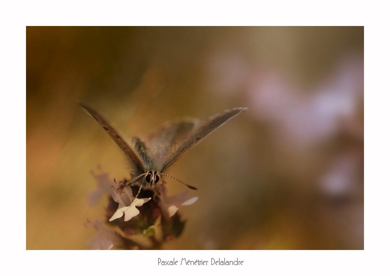 Azuré de l'ajonc ou Petit argus ou Argus bleu (Plebejus argus) - Lycaenidae