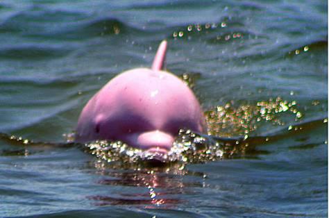 image0055-dauphin-rose-.jpg