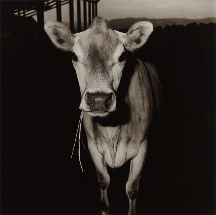 03 - Autres portraits de vaches