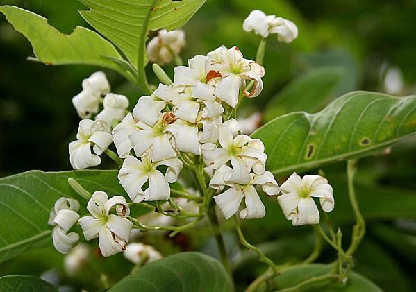 800px-Holarrhena_pubescens_flowers_W_IMG_0292.jpg