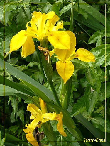 Iris-des-marais--Pierre.jpg