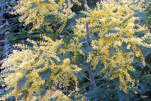 Du mimosa en fleur