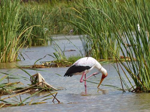 quelques espèces d'oiseaux du lac Shamo