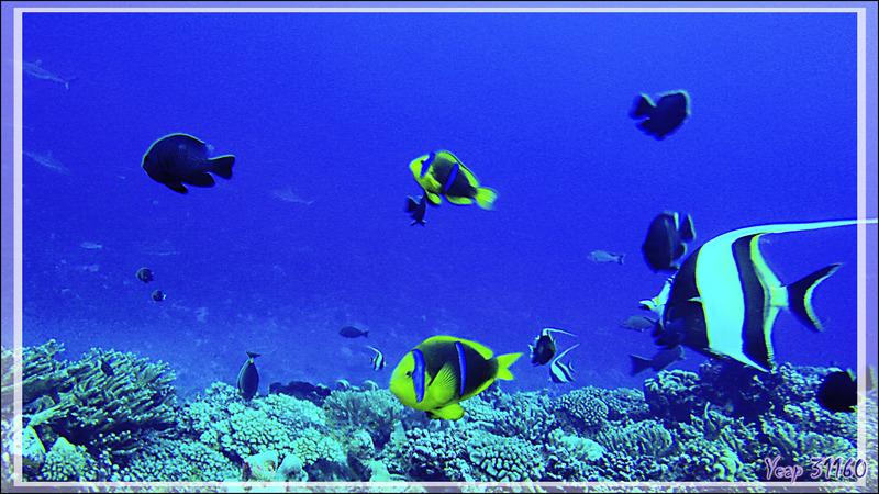 Poisson-clown à nageoires jaunes, Orangefin anemonefish (Amphiprion chrysopterus) - Passe Tumakohua (passe sud) - Atoll de Fakarava - Tuamotu - Polynésie française