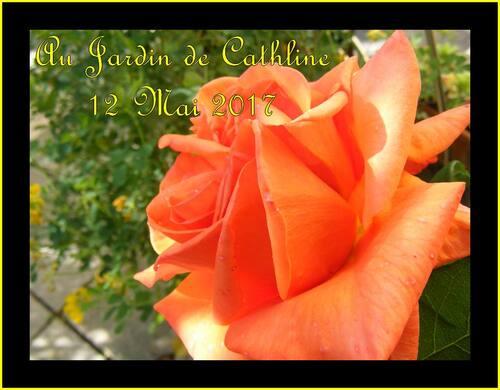 Roses de Mai (1)