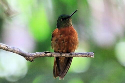 Colibri de Matthews (Chestnut-breasted Coronet)