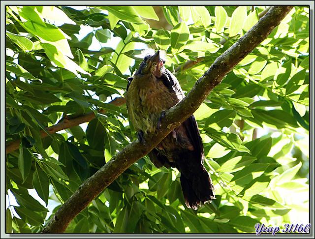 Blog de images-du-pays-des-ours : Images du Pays des Ours (et d'ailleurs ...), Quiscale à longue queue - Entre les volcans Rincon de la Vieja et Arenal - Costa Rica