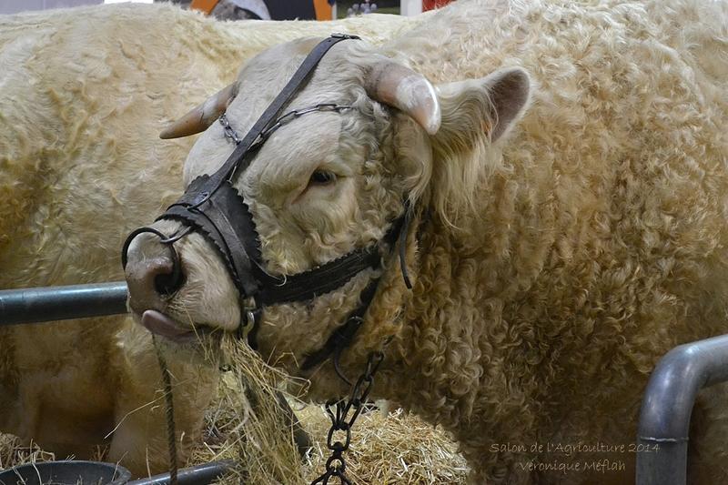 Salon de l'Agriculture 2014 : La Charolaise