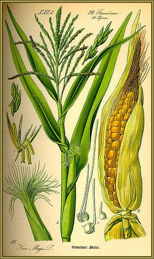 Vertus Médicinales des Légumes et des Fruits : MÂCHE