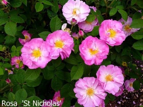Roses Daniel Schmitz juin 2010 048