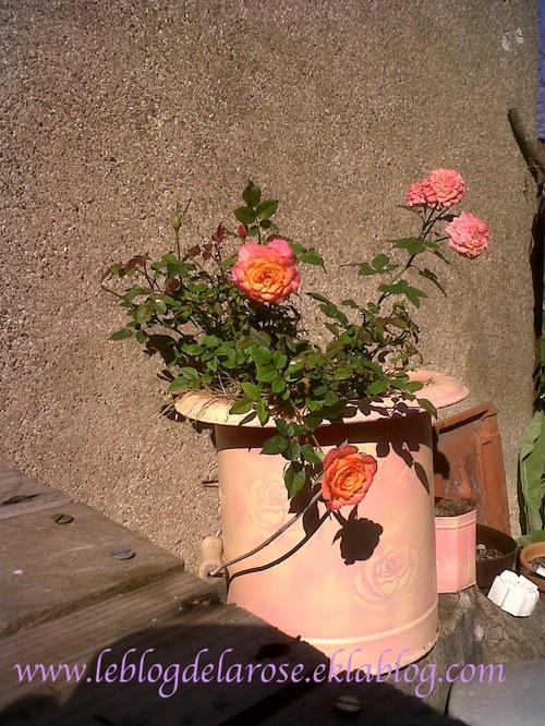 Roses et soleil de septembre/ Roses and september sun
