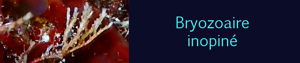 bryozoaire inopiné