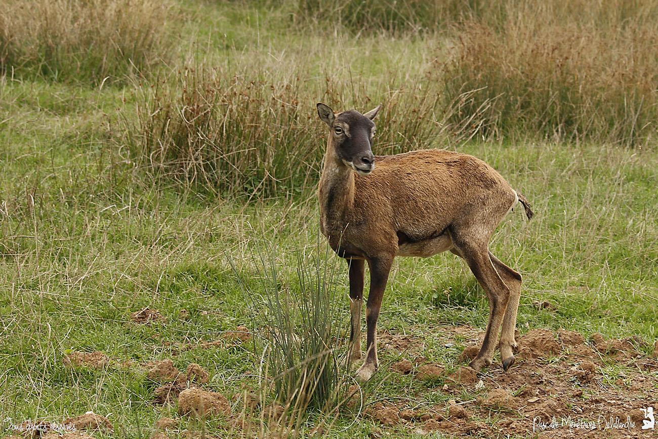 Mouflon ♀