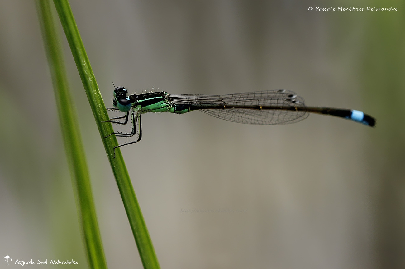 Ischnures élégantes (Ischnura elegans) - ♂ mature
