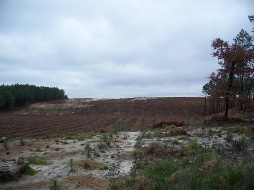 plantation jeunes pins
