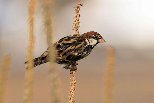 Moineau espagnol (Spanish Sparrow)