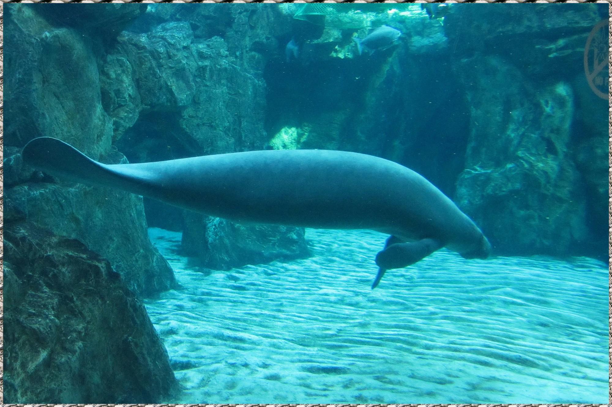 Un Lamentin à l'aquarium de Gênes