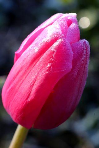 Les tulipes de la Roseraie (2/3)