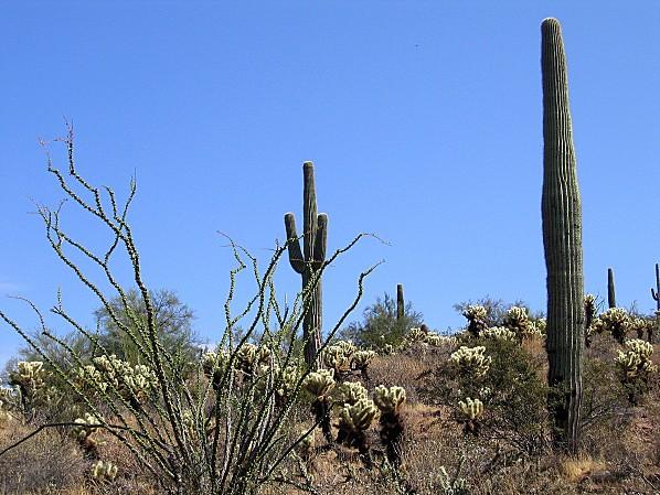 Arizona cactus 1