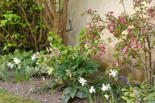 narcisses-thalia---dans-la-haie-bocagere---avril-2014.jpg