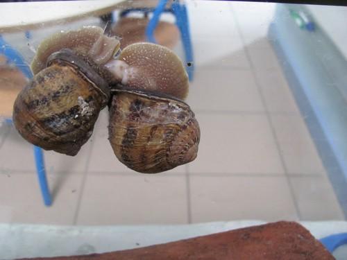 escargots accouplement x