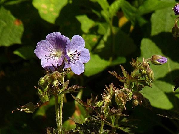 Geranium Purple Haze -G