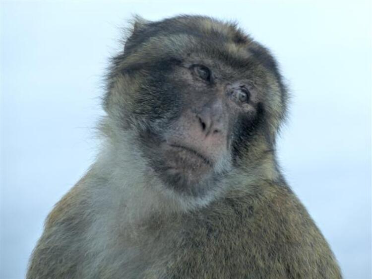 Les macaques sur le rocher