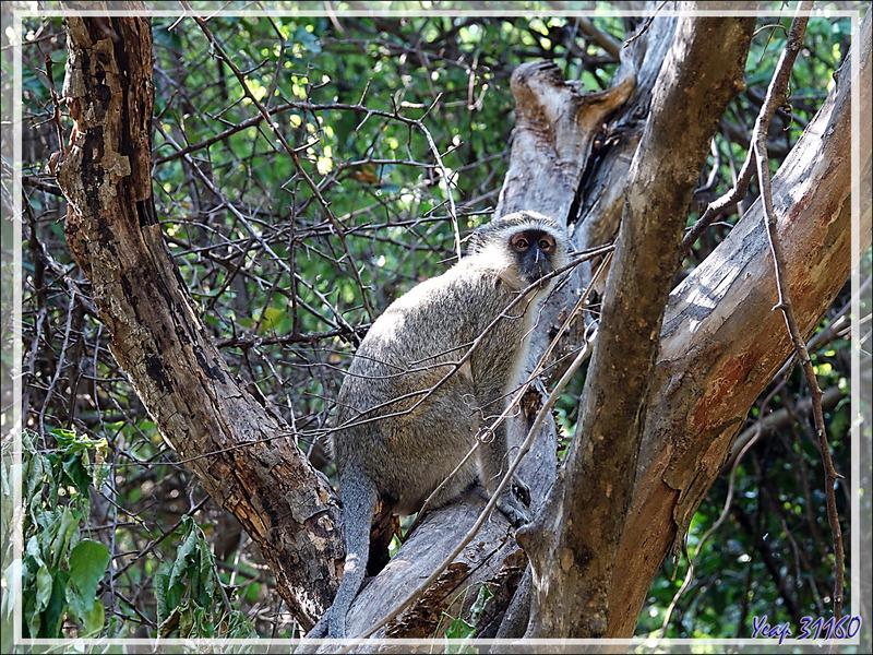 Singe Vervet, Singe vert, Chlorocebus (Cercopithecus æthiops) - Chutes Victoria - Zimbabwe