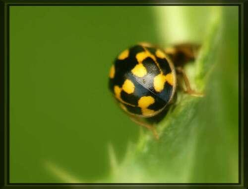 Propylea quatuordecimpunctata, la coccinelle à damier