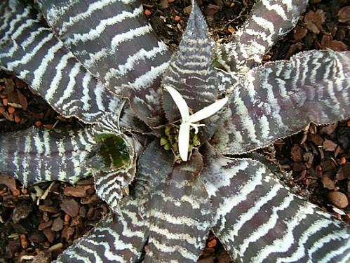Cryptanthus zonatus HabitusFlower BotGardBln1006a