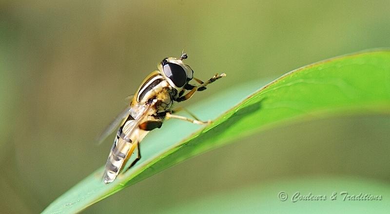 Le syrphe ceinturé - Episyrphus balteatus