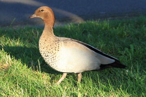 Canard à Crinière (Australian Wood Duck) Australie
