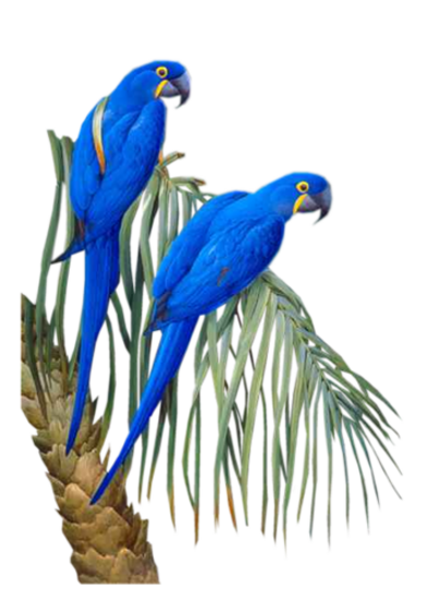 Perroquets  -  Ara