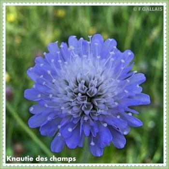 Knautie des champs-Knautia arvensis
