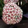 crassula bride's bouquet