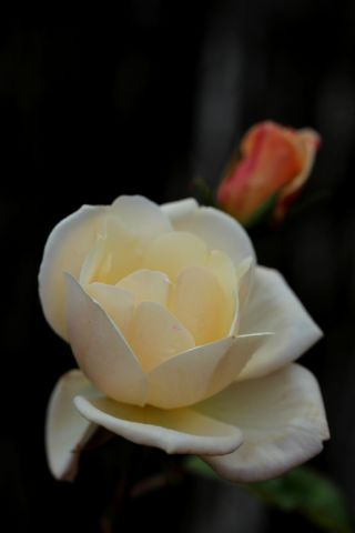 Roseraie - Novembre (3/4)