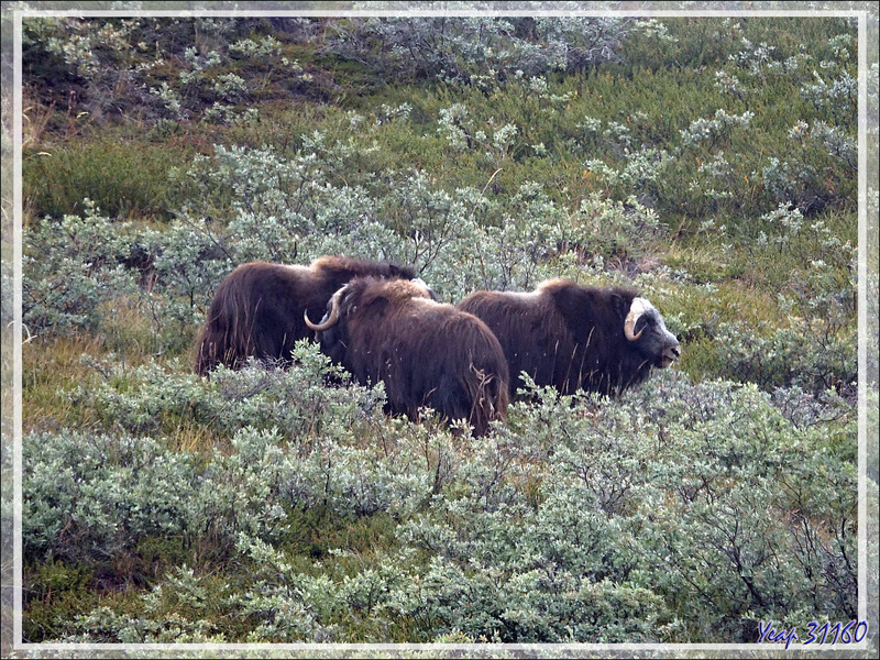 Bœuf musqué (Musk ox) - Ferguson Lake ou Tasersuatsiaq - Kangerlussuaq - Groenland