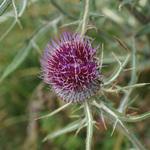 Cirse laineux (Cirsium eriophorum) - Famille : Astéracées