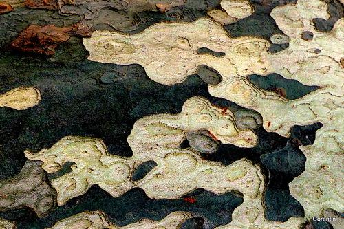 La surface d'une écorce de platane