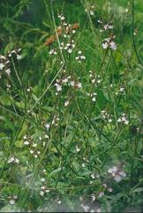 Verveine officinale fleur