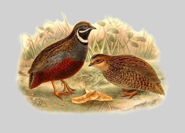 oiseau Cailles dessin mâle et femelle racaille