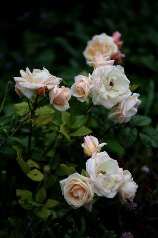Roseraie - Juin (2/4)
