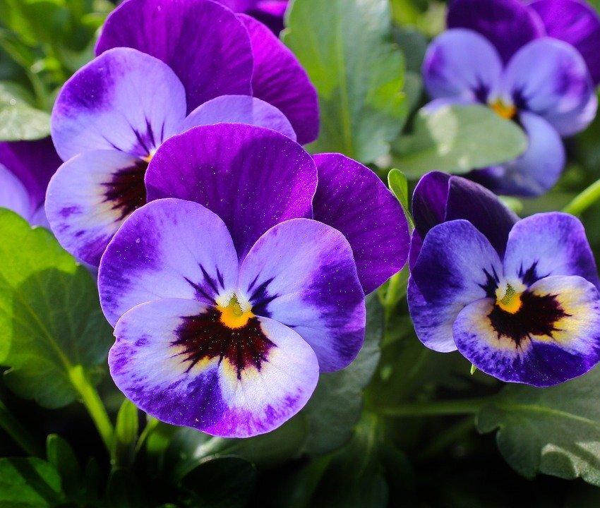 Violette, Fleurs, Plantes, Nature, Printemps, Violet
