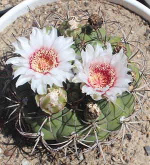 Gymnocalycium Zegarrae en fleur