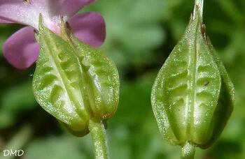 Geranium lucidum - géranium luisant