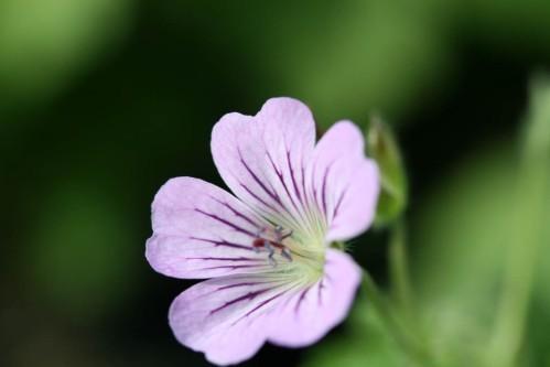 geranium-karen-wouters.jpg