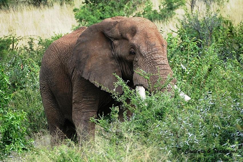 Eléphant, vieux  mâle solitaire