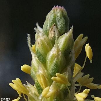 Plantago maritima subsp. serpentina  -  plantain serpentin