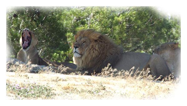 Lionne baillant d' ennui sous les pins